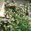 つるバラの冬の強剪定と誘引|大きく育てたいときには