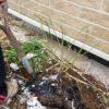 庭植えのバラを抜いて植え替える|別の場所へ植え替え&鉢上げ