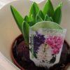 ヒヤシンスの芽出し苗の寄せ植え|植え替えと育て方