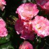 ストロベリーアイスの剪定と誘引|つるバラにもなるフロリバンダローズ