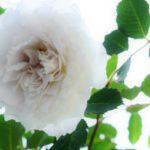 魅惑のバラ・ガブリエルの栽培記録と育て方
