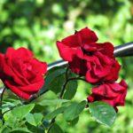 バラのグランドカバーにおすすめの植物・ハーブは?|ローマンカモミール&タイム