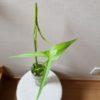 クワイの育て方【水耕栽培】|食材で観葉植物を育てる