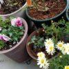 マーガレット&サイネリア|キク科鉢花の植え替えとお手入れ・育て方