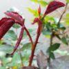 バラの春の目覚め「芽吹き」と庭植えから鉢植えに植え替えたバラ
