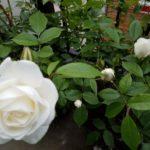 バラの開花シーズンのはじまり~サイトリニューアルのお知らせ~