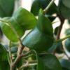 ゴムの木の仲間「フィカス属」の新芽の秘密と土選び