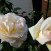 【2019】6月の四季咲きのバラの管理と追肥