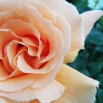 バラの咲くベランダガーデニング【2019】ジャスト ジョーイ