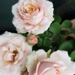 【2019】我が家の四季咲きのバラの追肥事情