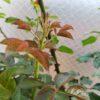 四季咲きのバラの剪定|伸びてバランスの悪い新芽をどうしたらいい?