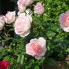 バラの茂みの遮光がピッタリの花|フクシア・インパチェンス・胡蝶蘭