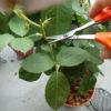 四季咲きのバラの花殻摘み|次の花を咲かせるための花殻摘み