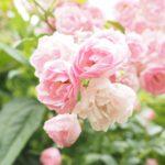 新しいバラを育てたい|バラの家のセール!欲しいバラ苗を物色する
