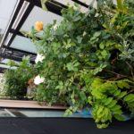 梅雨時の長期不在時のバラの鉢植えの水やり対策|ベランダの四季咲きのバラ