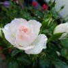 バラは鉢植えの方がうまく育つ??|庭植え VS 鉢植え