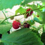 ブルーベリーとラズベリーの収穫と室内植物たち
