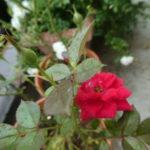 四季咲きのバラ|バラの季節は長く続いて