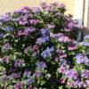 フェアリーアイと四季咲きのバラの咲く7月の庭