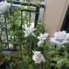 夏の長期不在・バラに水やりできないときの対処法【鉢植え】