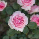 長期不在のバラの鉢植えの水管理【その後】どうすればいいの?