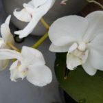 胡蝶蘭を育てるのに失敗した方へ|胡蝶蘭を枯らさないためのテクニック