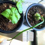 蒼角殿栽培記録|ヒスイ色の玉ねぎみたいな蒼角殿を育てる