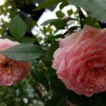四季咲きのバラの夏剪定|夏剪定しなくても花は咲く