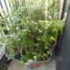 この夏最後の植物のお留守番|長期不在の時の水管理