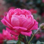 両親に贈る苗は自分で植えつけて|実家に贈る胡蝶蘭とバラ