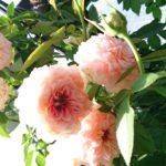 9月の四季咲きのバラのお手入れ|夏剪定と追肥