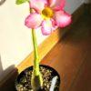 砂漠のバラ|アデニウム・オベスムの栽培記録
