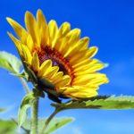 荒地に咲く向日葵やコスモスのようなひと