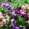春まで長く楽しめる寒い季節に美しい花を育てよう|パンジー・ビオラ・シクラメン・ベゴニア・フクシア