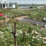 島田市バラの丘公園|四季咲きのバラと白馬とドッグラン