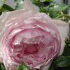バラの強剪定と冬支度|来年のバラのためにやっておきたいこと