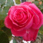 庭植えのバラの強剪定と寒肥・冬支度