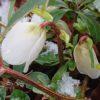 咲かないクリスマスローズと休眠しないバラ