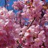 【2020】掛川桜は今が見ごろ|3月になる前に一足早く咲いて