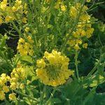 3月だけど季節は春めいて|菜の花・ヒヤシンス・アガベ