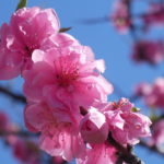 花桃を楽しむ【2020】天竜相津・花桃の里
