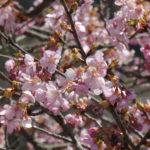 3月下旬でも見られる河津桜【遠山郷】